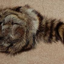 Raccoon Fur Hat Tail Trapper Coon Skin Daniel Boone Hat Cap Fess Parker Coonskin Photo